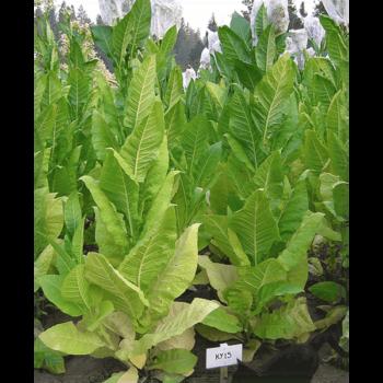 Köp KY 15 tobaksfrö från Kungssnus