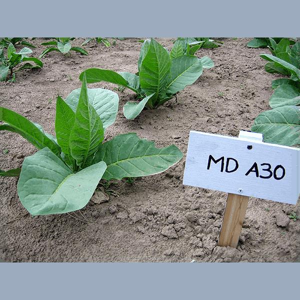 Köp tobaksfrön av tobakssorten MD A30 från Kungssnus