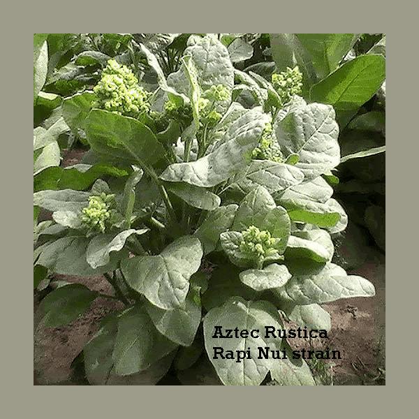Köp Aztec Tobaksfrön från Kungssnus webbutik
