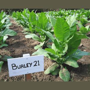 burley-21-tobaksfro