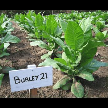 Köp Burley 21 tobaksfrön från Kungssnus webbutik