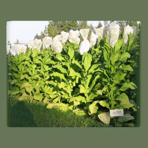 Köp Gold Leaf 939 tobaksfrö från Kungssnus