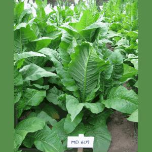 Beställ MD 609 tobaksfrön från Kungssnus webbutik