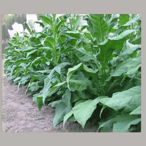 Köp Shirey tobaksfrön från Kungssnus webbutik
