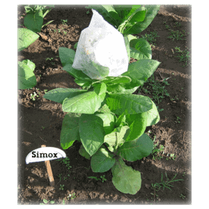 Köp Simox tobaksfrön från Kungssnus