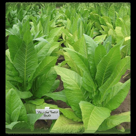 Beställ Yellow Twist Bud tobaksfrön från Kungssnus
