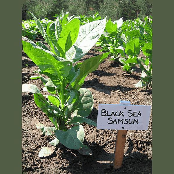 Beställ tobaksfrön Black Sea Samsun från Snusfabriken.com