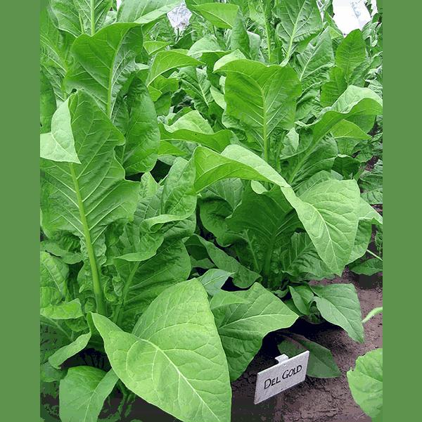 Beställ tobaksfrön Del Gold från Snusfabriken.com