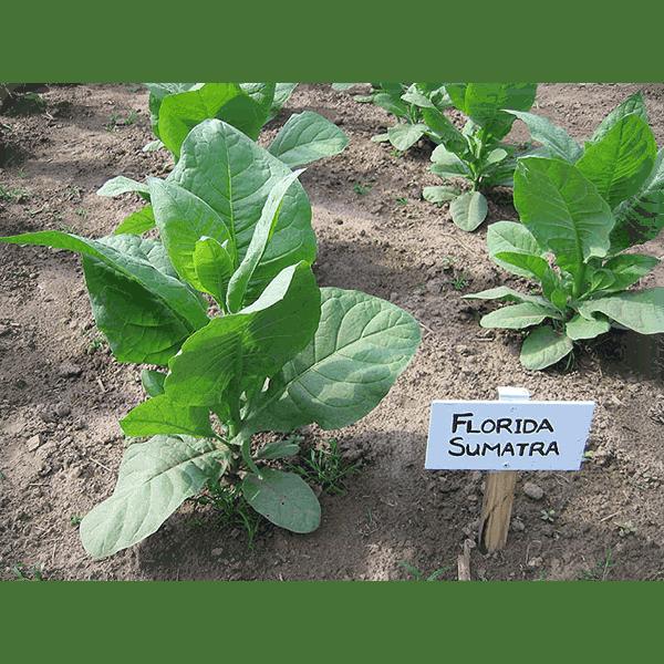Beställ tobaksfrön Florida Sumatra från Snusfabriken.com