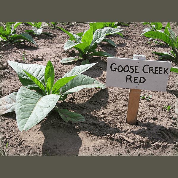 Beställ tobaksfrön Goose Creek Red från Snusfabriken.com