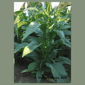 Beställ tobaksfrön Pennsylvania Red från Snusfabriken.com