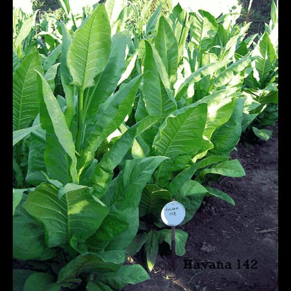 Havana 142 tobaksfrön - Beställ från Snusfabriken.com