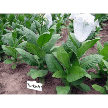 Turkish 1 Tobaksfrön
